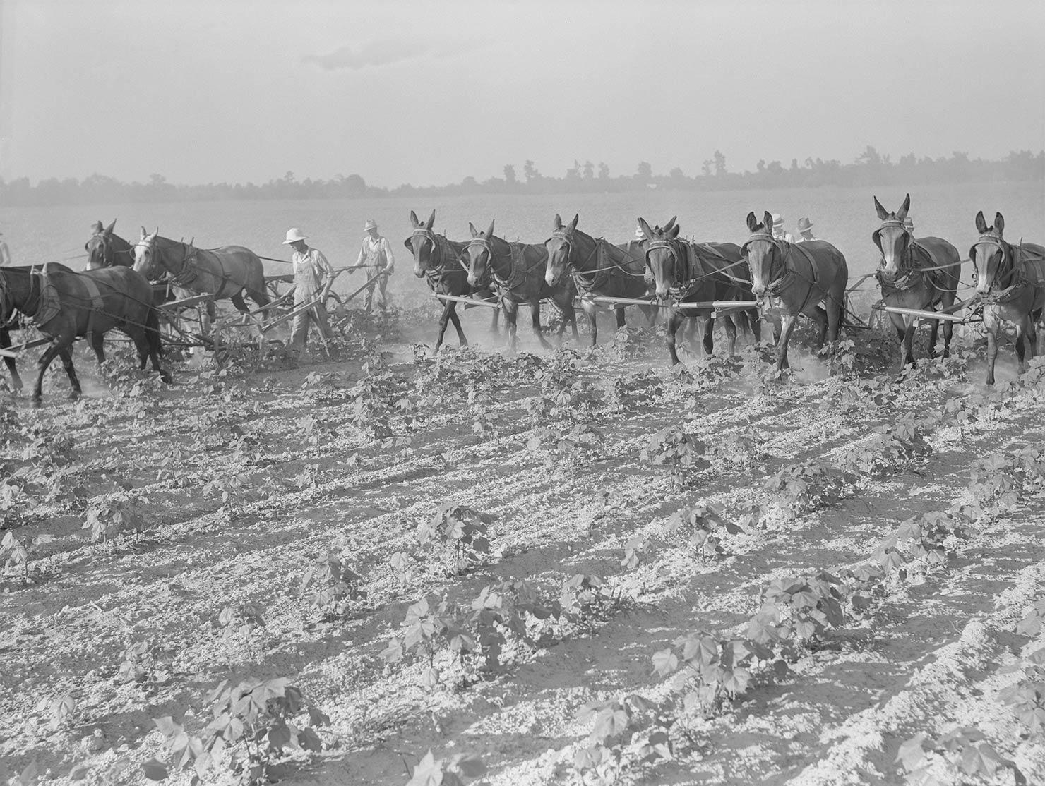 アーカンソー州ディック湖の綿花畑
